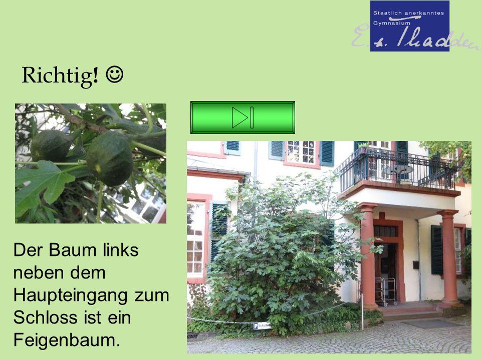 Richtig ! Der Baum links neben dem Haupteingang zum Schloss ist ein Feigenbaum.