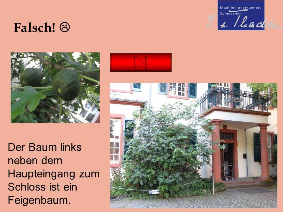 Falsch!  Der Baum links neben dem Haupteingang zum Schloss ist ein Feigenbaum.