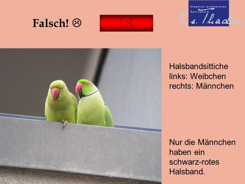 Thadden-Quiz Falsch.  Nur die Männchen haben ein schwarz-rotes Halsband.