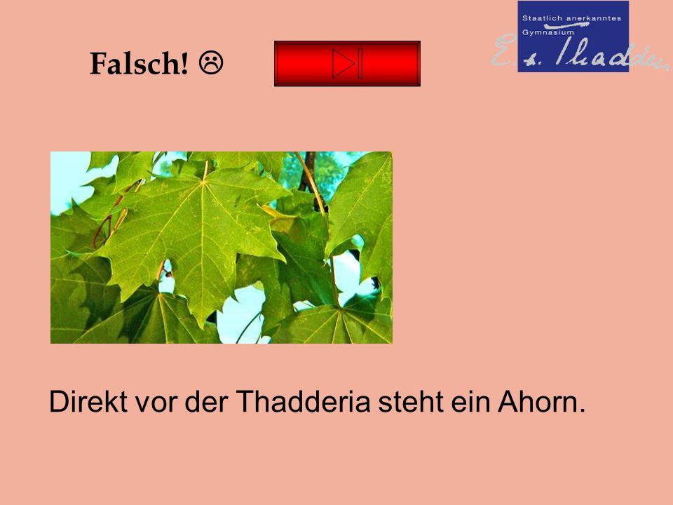 Falsch!  Direkt vor der Thadderia steht ein Ahorn.