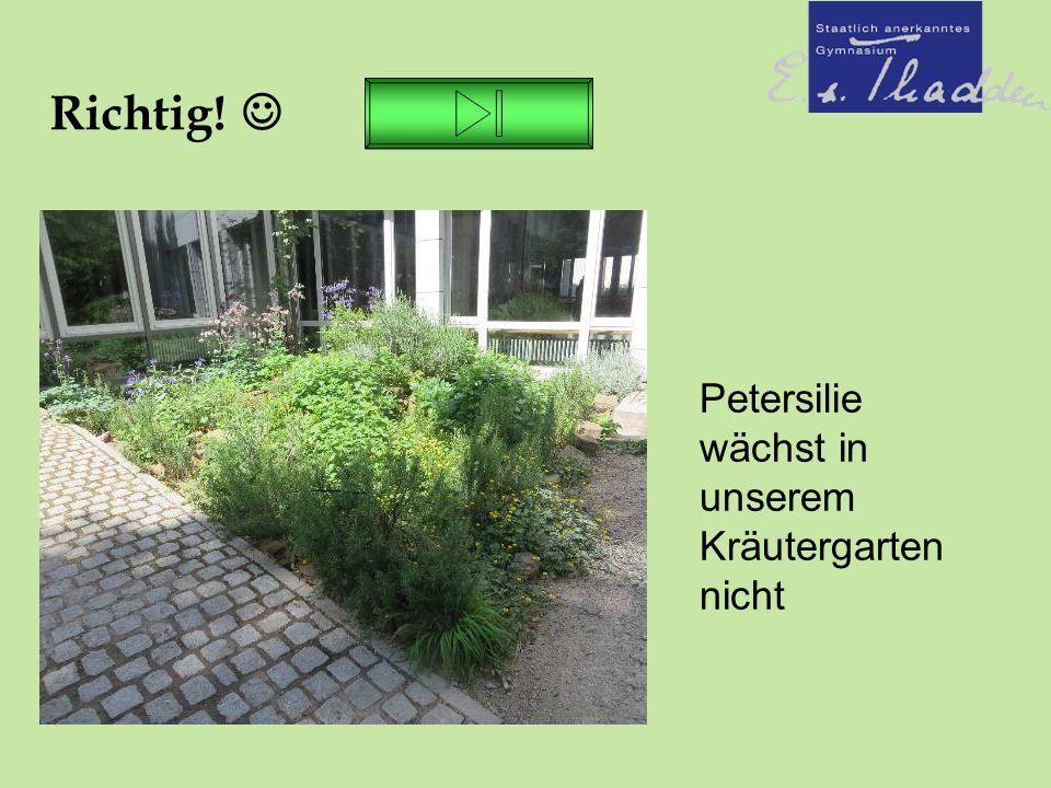 Richtig! Petersilie wächst in unserem Kräutergarten nicht