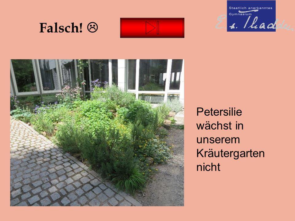 Falsch!  Petersilie wächst in unserem Kräutergarten nicht