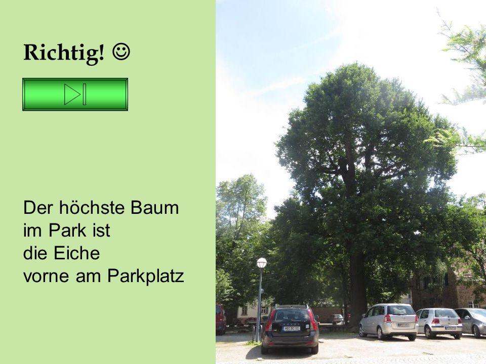 26.06.16 Richtig! Der höchste Baum im Park ist die Eiche vorne am Parkplatz