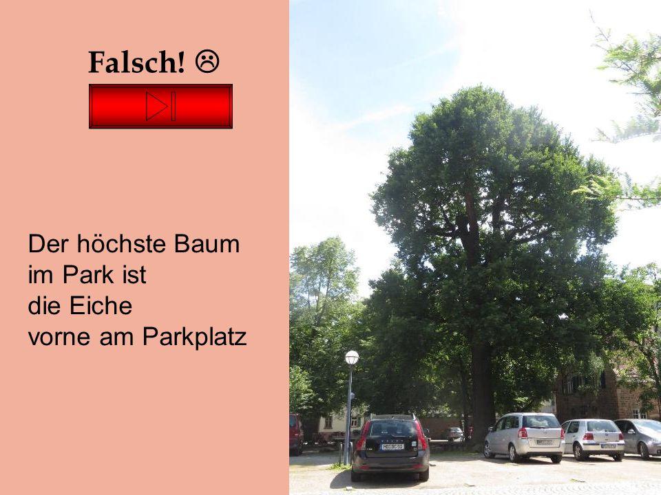 Falsch!  Der höchste Baum im Park ist die Eiche vorne am Parkplatz