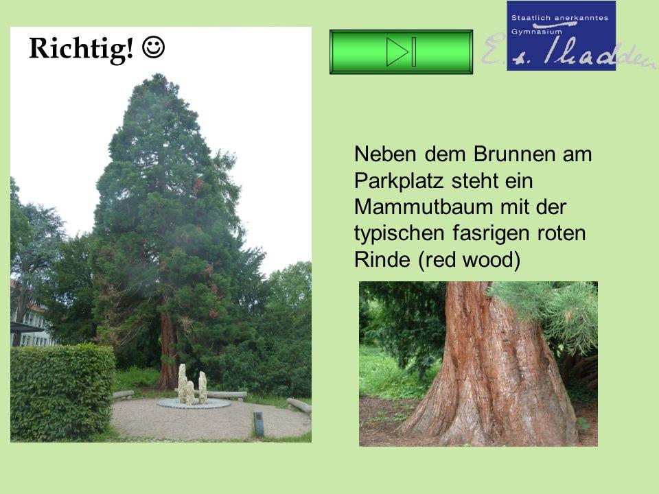 Neben dem Brunnen am Parkplatz steht ein Mammutbaum mit der typischen fasrigen roten Rinde (red wood) Richtig!