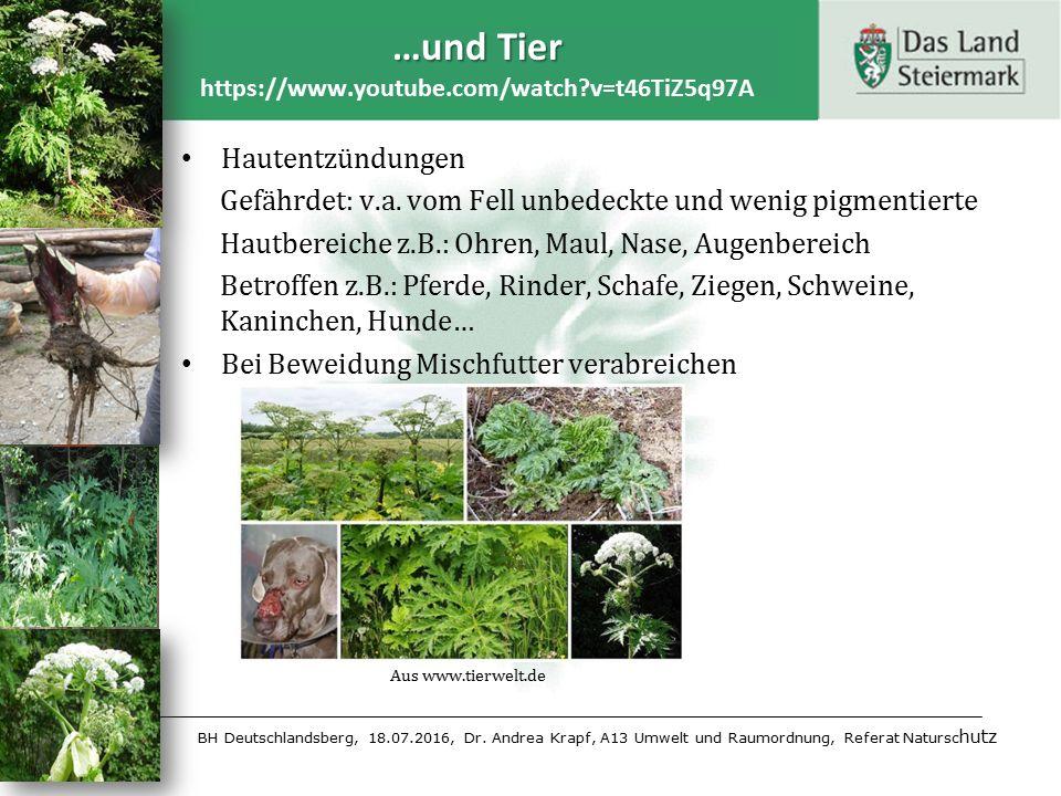 BH Deutschlandsberg, 18.07.2016, Dr. Andrea Krapf, A13 Umwelt und Raumordnung, Referat Natursc hutz Hautentzündungen Gefährdet: v.a. vom Fell unbedeck
