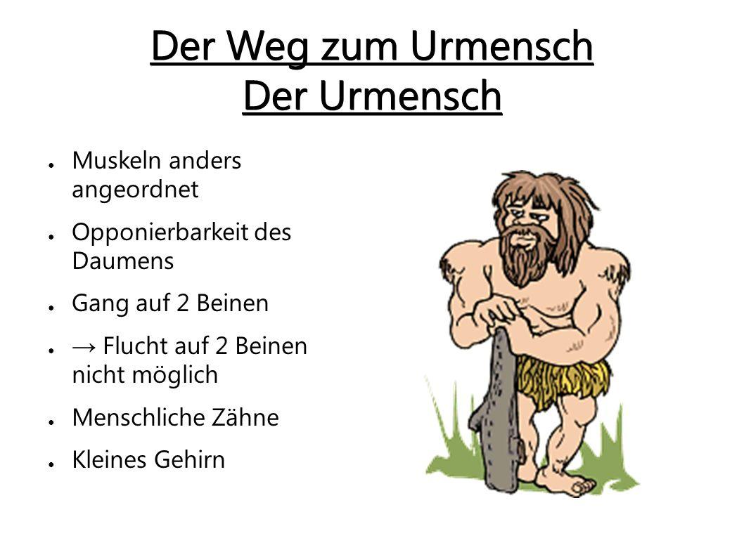 Der Australopithecus ● Weder Affe noch Mensch ● → affenähnliches Gesicht ● → lange Arme ● Verbesserung der Sehkraft ● Nahrung: Früchte, Wurzeln und auch Fleisch ● Teilt sich in 4 Gruppen