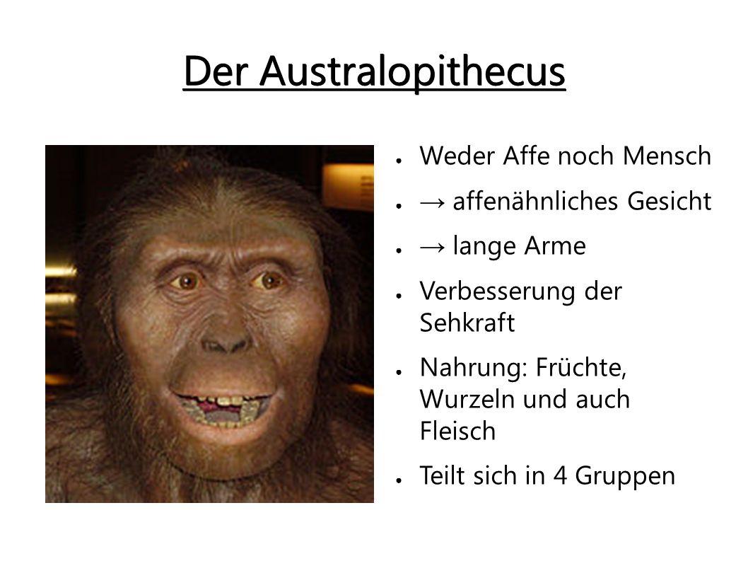 Der Australopithecus afarensis ● Größe: 1,50m ● Gewicht: 30-70kg ● Großes Hirn ● Gerbiss: ● → kleine Eck- und Schneidezähne ● Allesfresser ● Greifhand Der Australopithecus africanus