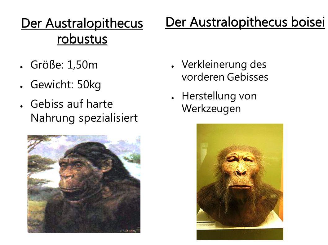 """Der Homo habilis ● Früheste Form der Gattung """"homo ● Ansatz von Sprachzentrum ● Stellte Steinwerkzeuge her ● Aß auch Tiere"""