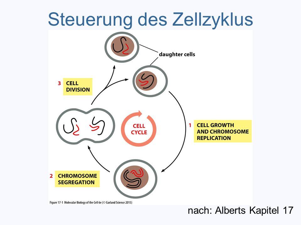 Steuerung des Zellzyklus nach: Alberts Kapitel 17