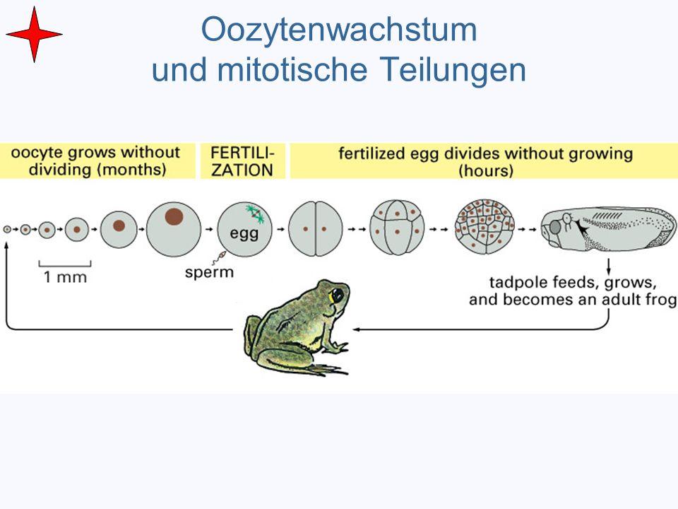 Oozytenwachstum und mitotische Teilungen