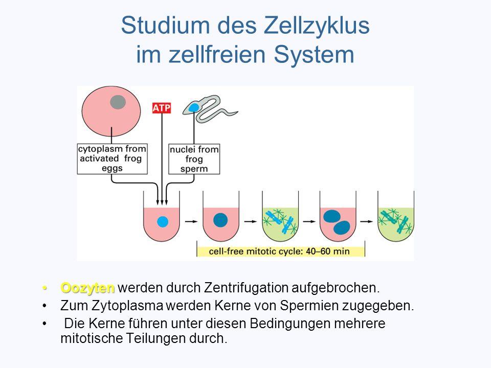 Studium des Zellzyklus im zellfreien System OozytenOozyten werden durch Zentrifugation aufgebrochen. Zum Zytoplasma werden Kerne von Spermien zugegebe