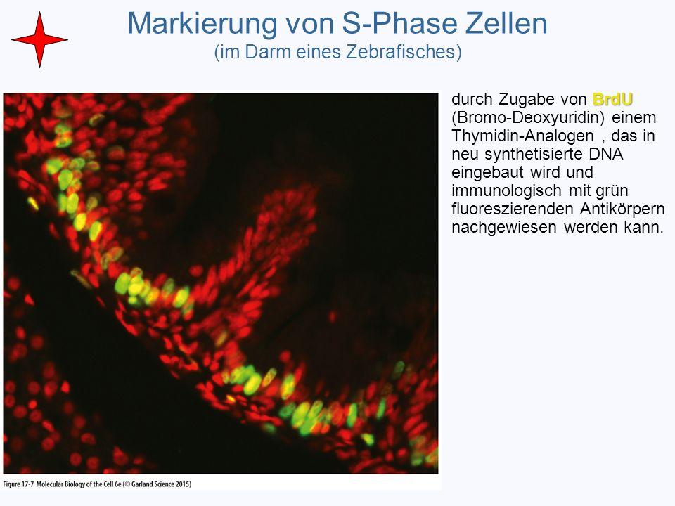 Markierung von S-Phase Zellen (im Darm eines Zebrafisches) BrdU durch Zugabe von BrdU (Bromo-Deoxyuridin) einem Thymidin-Analogen, das in neu syntheti