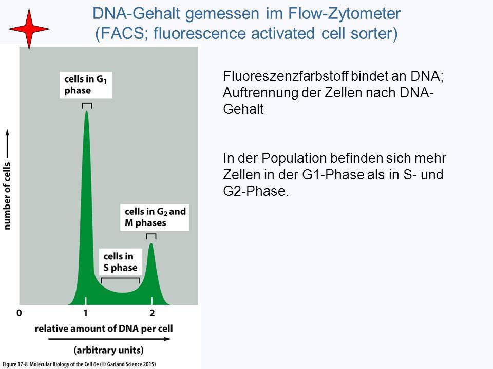 DNA-Gehalt gemessen im Flow-Zytometer (FACS; fluorescence activated cell sorter) Fluoreszenzfarbstoff bindet an DNA; Auftrennung der Zellen nach DNA-
