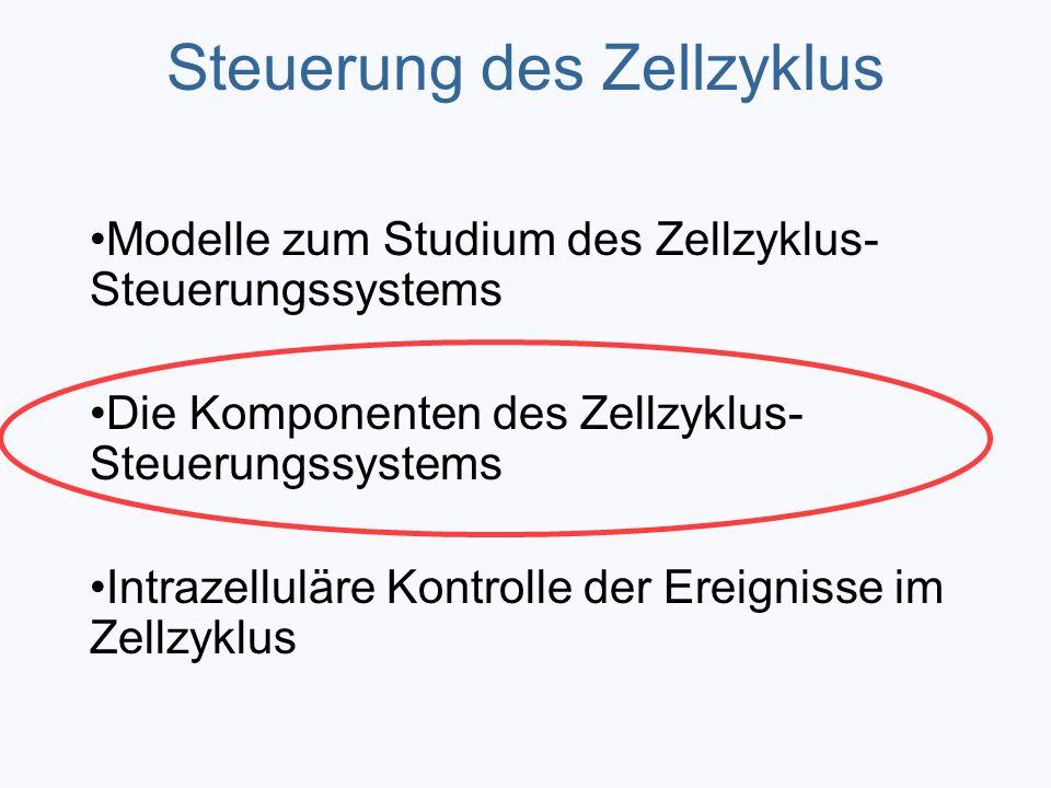 Steuerung des Zellzyklus Modelle zum Studium des Zellzyklus- Steuerungssystems Die Komponenten des Zellzyklus- Steuerungssystems Intrazelluläre Kontro