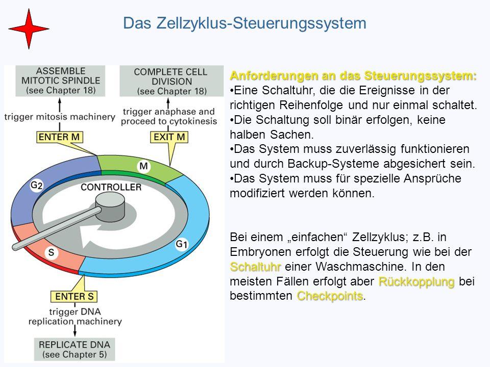 Das Zellzyklus-Steuerungssystem Ein ölöl Anforderungen an das Steuerungssystem: Eine Schaltuhr, die die Ereignisse in der richtigen Reihenfolge und nu