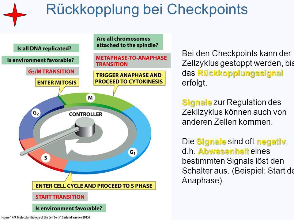Rückkopplung bei Checkpoints Rückkopplungssignal Bei den Checkpoints kann der Zellzyklus gestoppt werden, bis das Rückkopplungssignal erfolgt. Signale