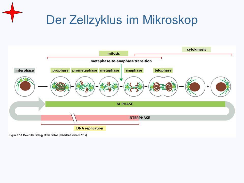 Der Zellzyklus im Mikroskop