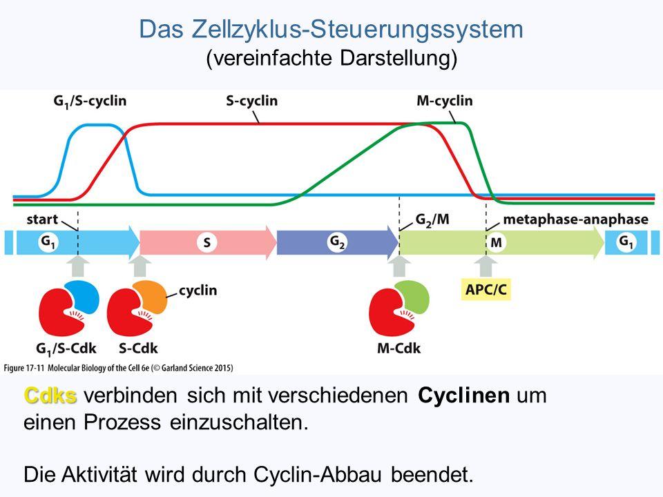 Das Zellzyklus-Steuerungssystem (vereinfachte Darstellung) Cdks Cdks verbinden sich mit verschiedenen Cyclinen um einen Prozess einzuschalten. Die Akt