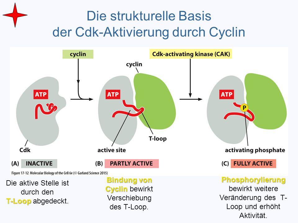 Die strukturelle Basis der Cdk-Aktivierung durch Cyclin Die aktive Stelle ist durch den T-Loop T-Loop abgedeckt. Bindung von Cyclin Bindung von Cyclin