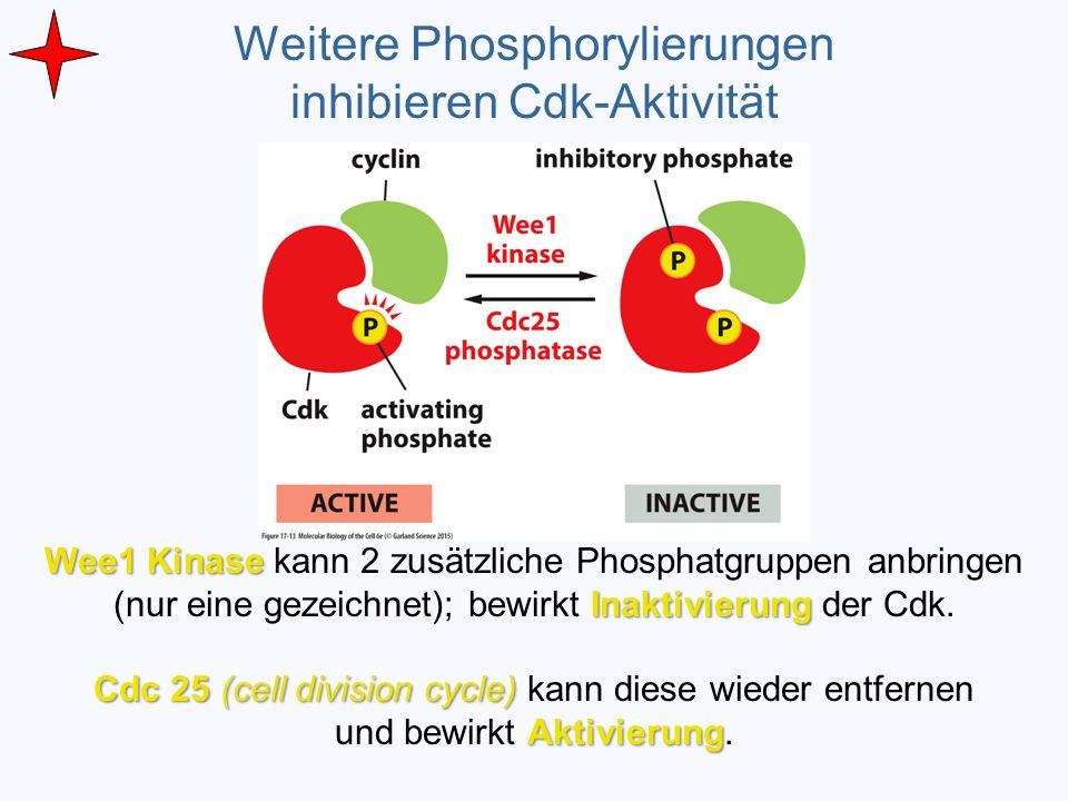 Weitere Phosphorylierungen inhibieren Cdk-Aktivität Wee1 Kinase Inaktivierung Wee1 Kinase kann 2 zusätzliche Phosphatgruppen anbringen (nur eine gezei