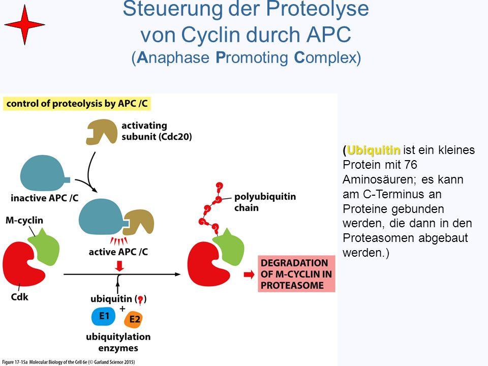 Steuerung der Proteolyse von Cyclin durch APC (Anaphase Promoting Complex) Ubiquitin (Ubiquitin ist ein kleines Protein mit 76 Aminosäuren; es kann am