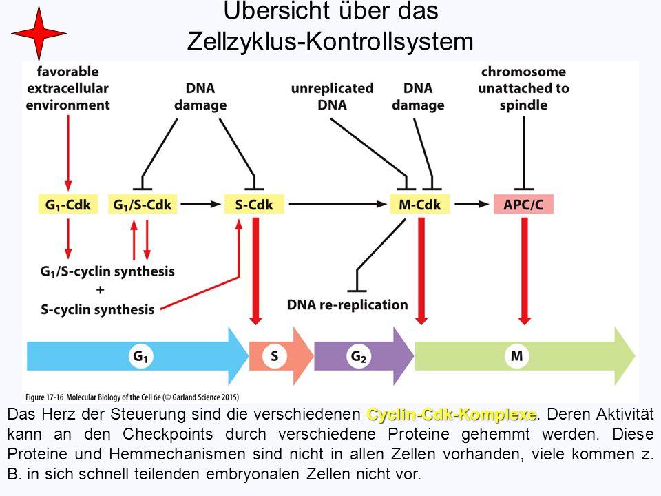 Übersicht über das Zellzyklus-Kontrollsystem Cyclin-Cdk-Komplexe Das Herz der Steuerung sind die verschiedenen Cyclin-Cdk-Komplexe. Deren Aktivität ka