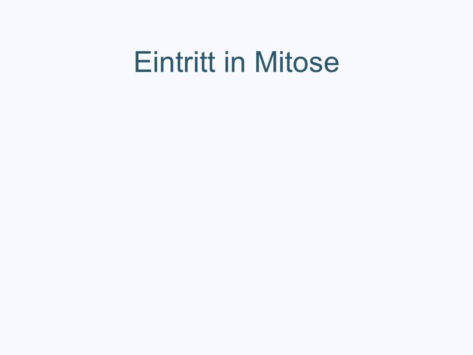 Eintritt in Mitose