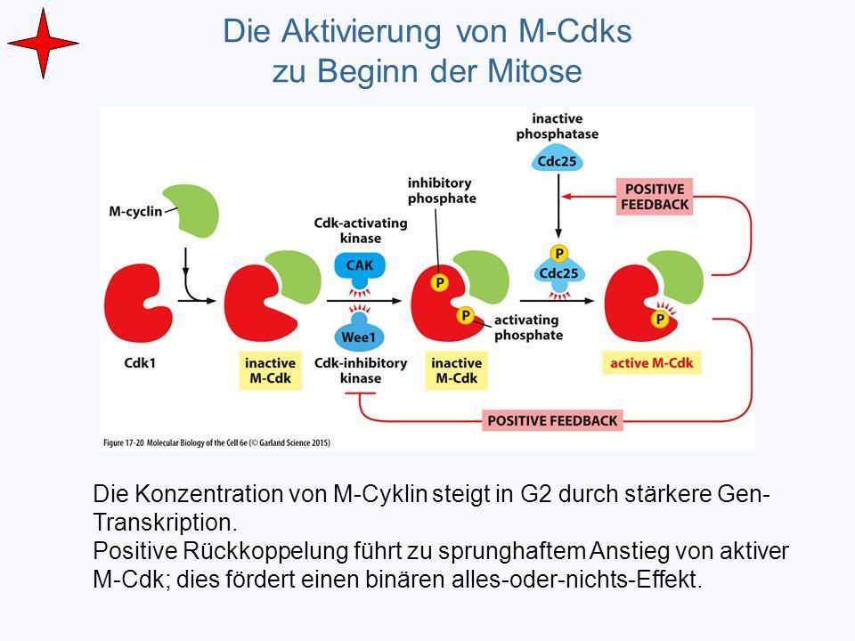 Die Aktivierung von M-Cdks zu Beginn der Mitose Die Konzentration von M-Cyklin steigt in G2 durch stärkere Gen- Transkription. Positive Rückkoppelung