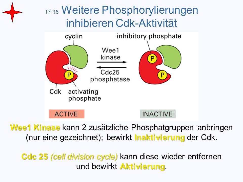 17-18 Weitere Phosphorylierungen inhibieren Cdk-Aktivität Wee1 Kinase Inaktivierung Wee1 Kinase kann 2 zusätzliche Phosphatgruppen anbringen (nur eine