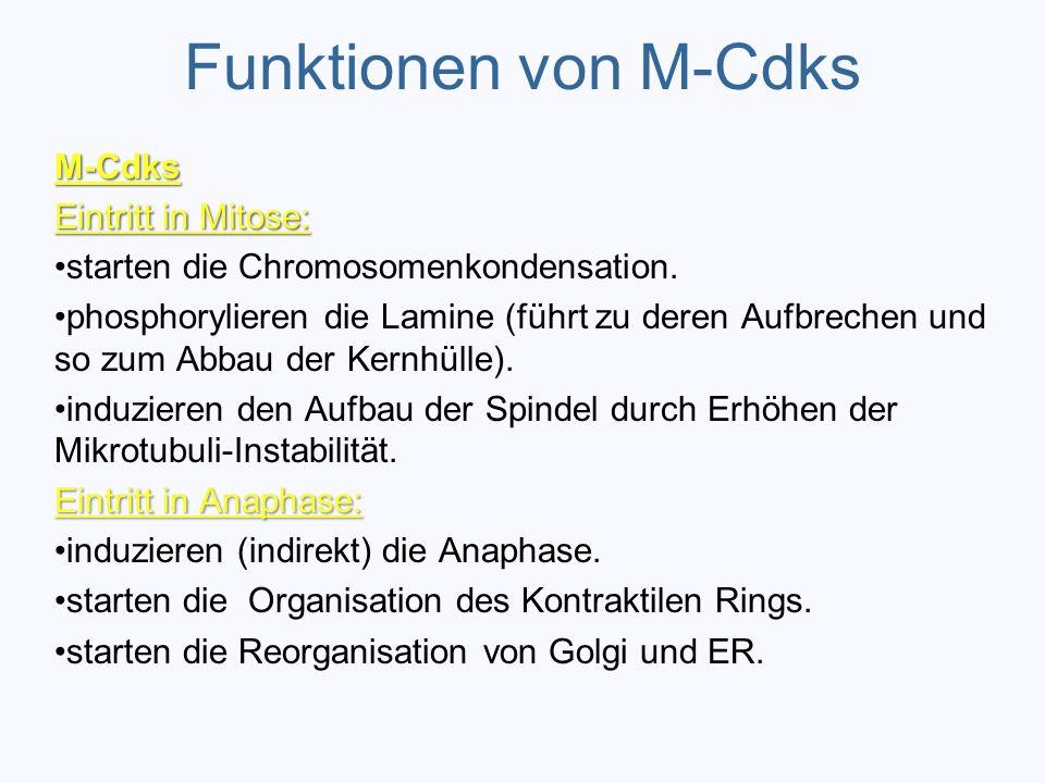Funktionen von M-Cdks M-Cdks Eintritt in Mitose: starten die Chromosomenkondensation. phosphorylieren die Lamine (führt zu deren Aufbrechen und so zum