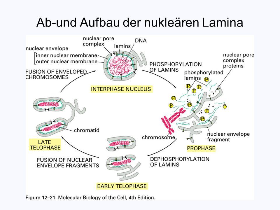 Ab-und Aufbau der nukleären Lamina