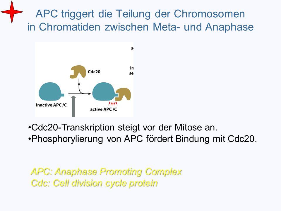 APC triggert die Teilung der Chromosomen in Chromatiden zwischen Meta- und Anaphase Cdc20-Transkription steigt vor der Mitose an. Phosphorylierung von