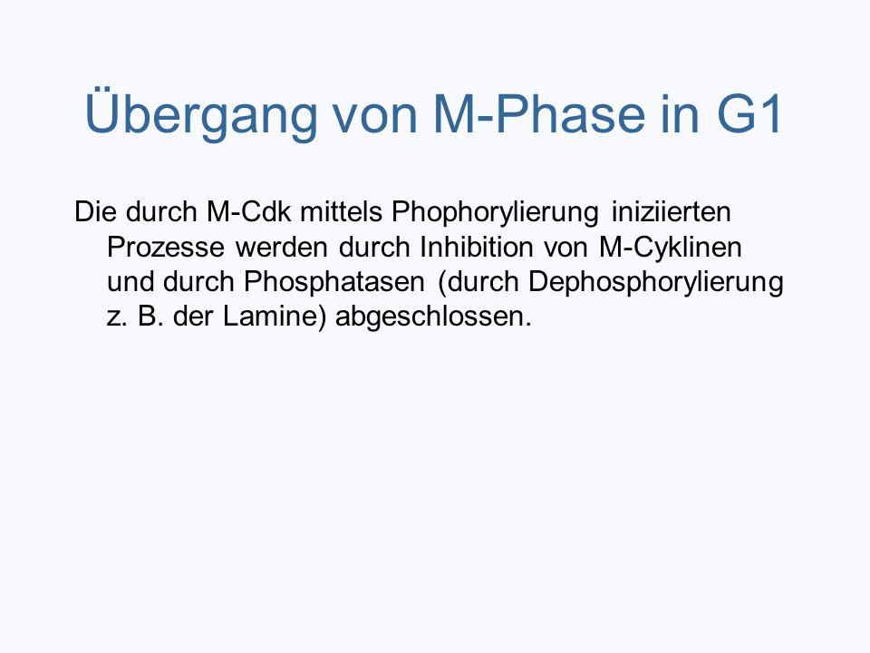 Übergang von M-Phase in G1 Die durch M-Cdk mittels Phophorylierung iniziierten Prozesse werden durch Inhibition von M-Cyklinen und durch Phosphatasen