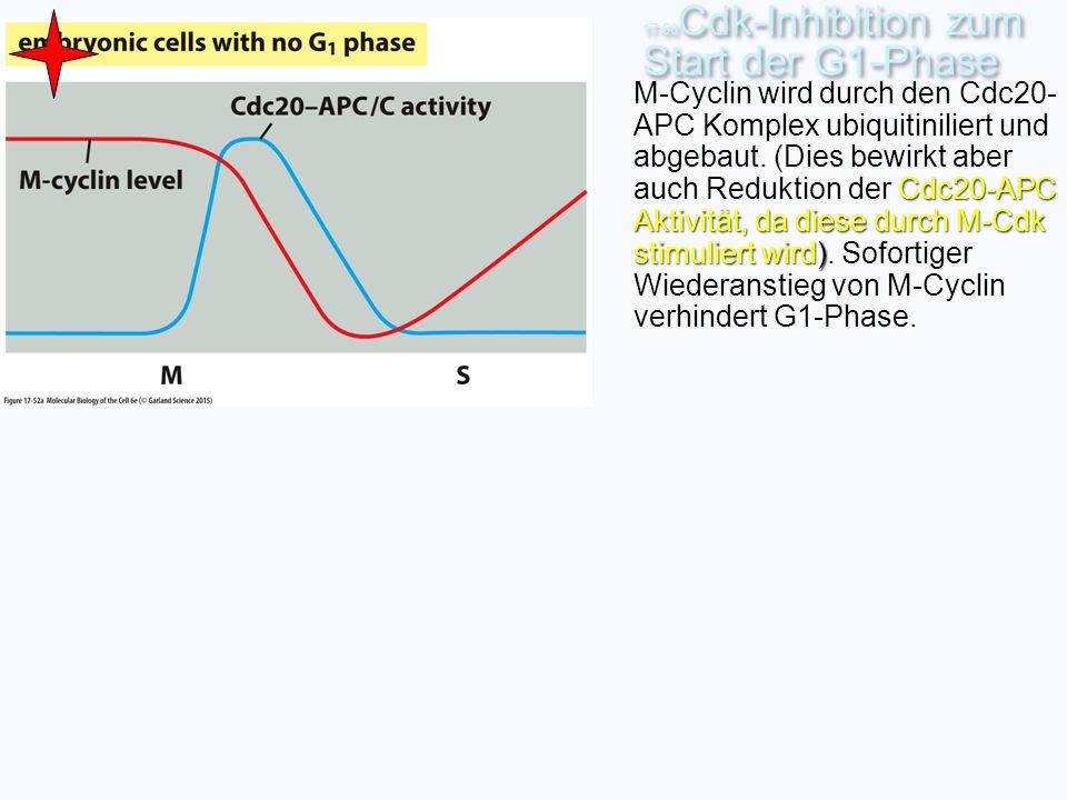 17-60 Cdk-Inhibition zum Start der G1-Phase Cdc20-APC Aktivität, da diese durch M-Cdk stimuliert wird) M-Cyclin wird durch den Cdc20- APC Komplex ubiq