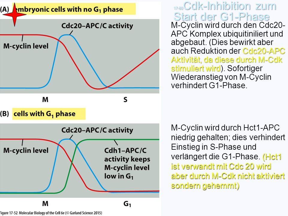 17-60 Cdk-Inhibition zum Start der G1-Phase (Hct1 ist verwandt mit Cdc 20 wird aber durch M-Cdk nicht aktiviert sondern gehemmt) M-Cyclin wird durch H