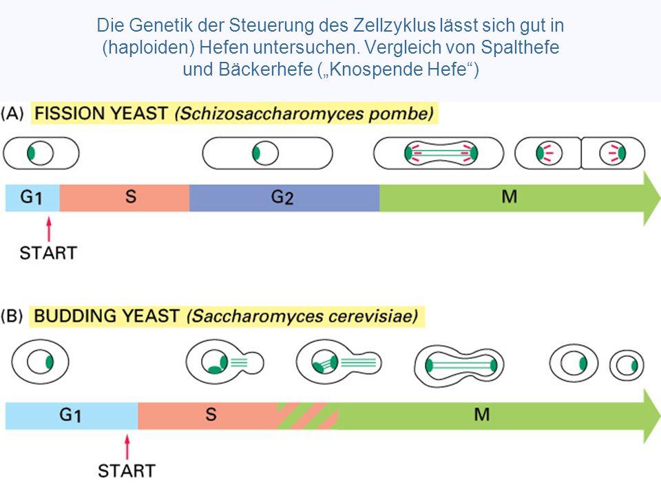 """Die Genetik der Steuerung des Zellzyklus lässt sich gut in (haploiden) Hefen untersuchen. Vergleich von Spalthefe und Bäckerhefe (""""Knospende Hefe"""")"""