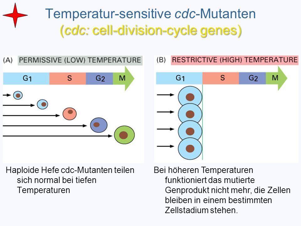 Haploide Hefe cdc-Mutanten teilen sich normal bei tiefen Temperaturen Bei höheren Temperaturen funktioniert das mutierte Genprodukt nicht mehr, die Ze