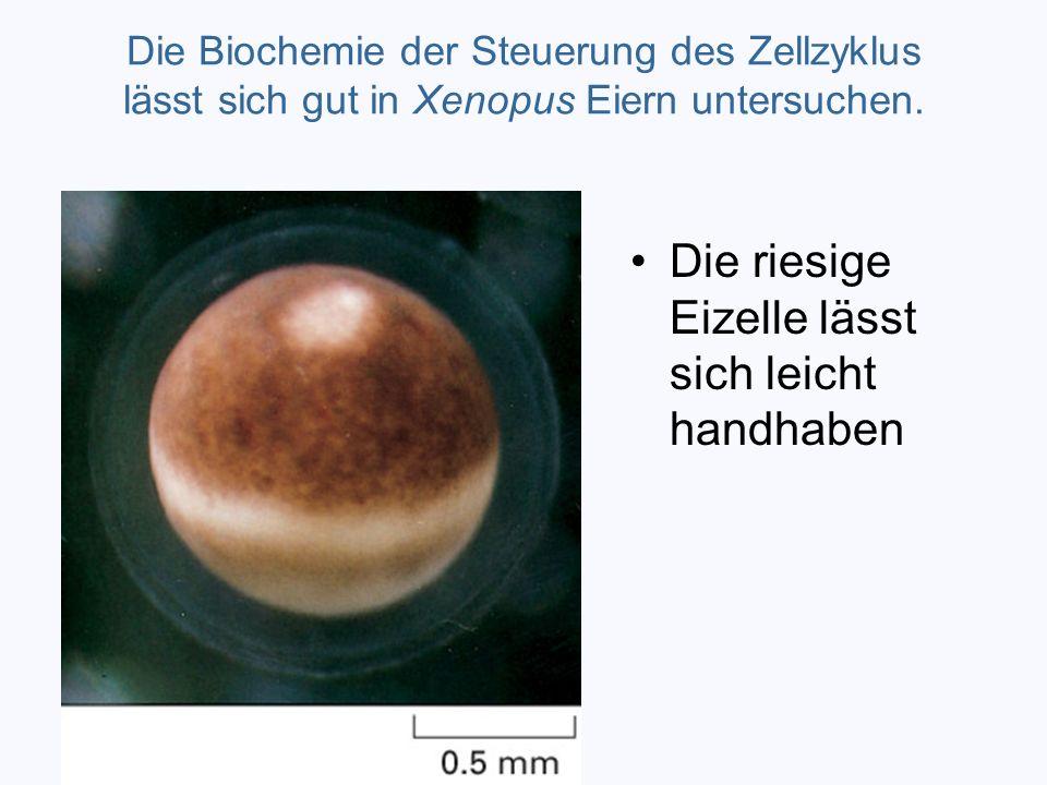 Die Biochemie der Steuerung des Zellzyklus lässt sich gut in Xenopus Eiern untersuchen. Die riesige Eizelle lässt sich leicht handhaben