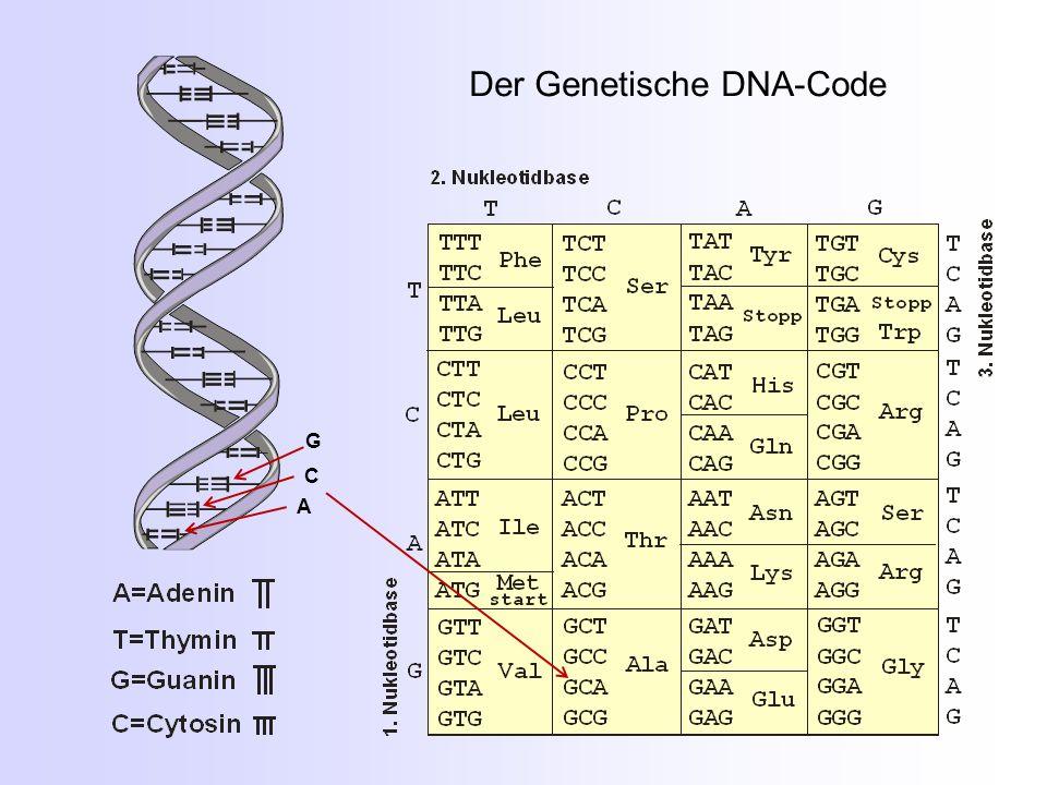 Der Genetische DNA-Code A C G
