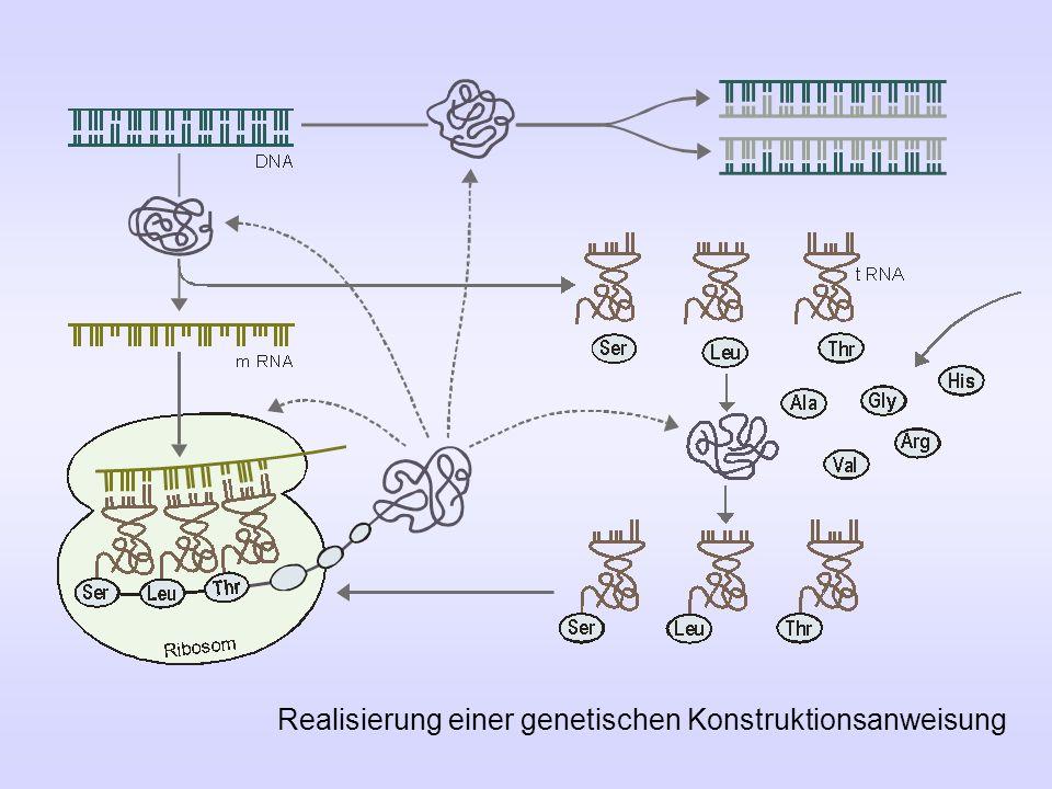 Realisierung einer genetischen Konstruktionsanweisung