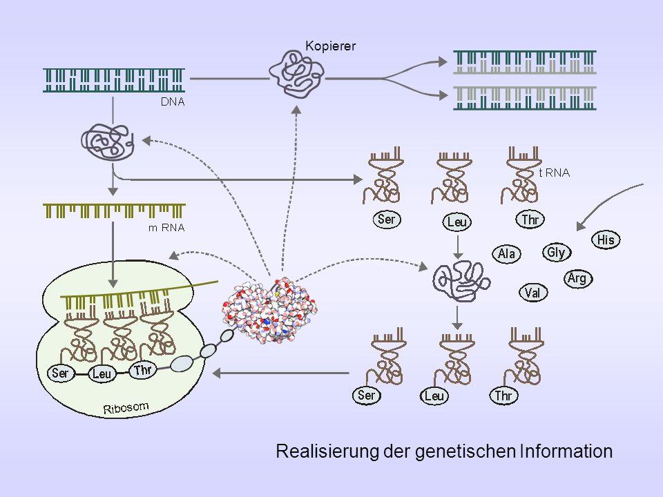 Realisierung der genetischen Information Kopierer