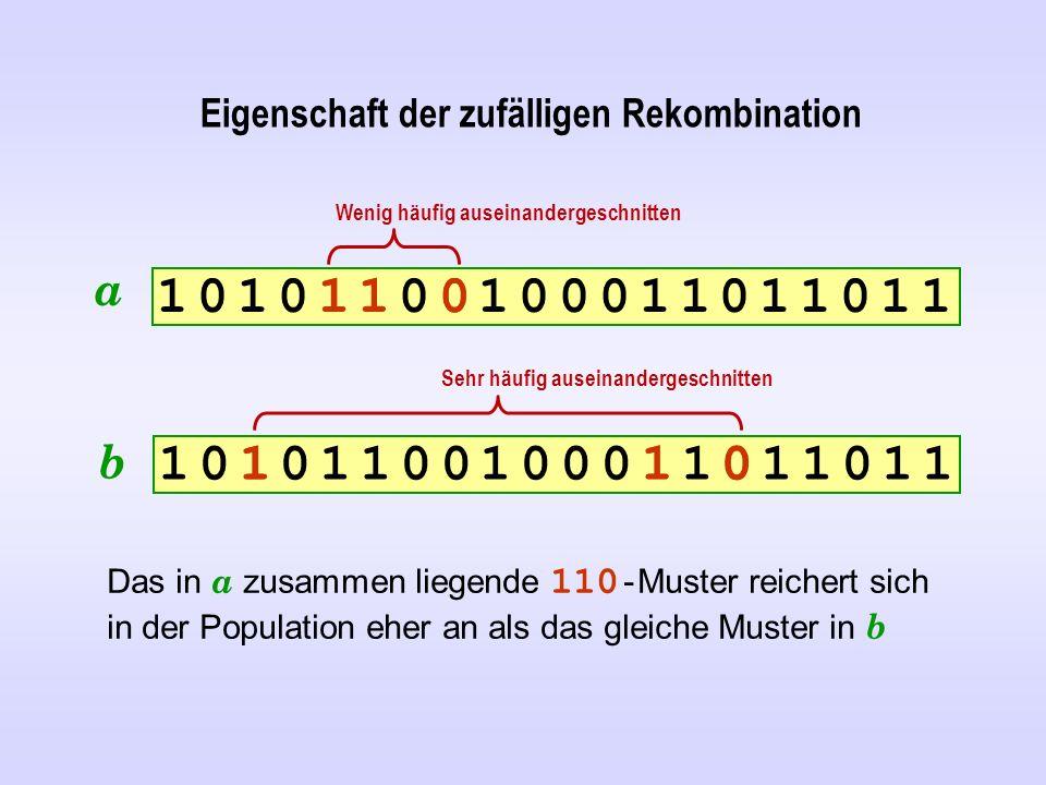 Eigenschaft der zufälligen Rekombination 1 0 1 0 1 1 0 0 1 0 0 0 1 1 0 1 1 0 1 11 0 1 0 1 1 0 0 1 0 0 0 1 1 0 1 1 0 1 1 1 0 1 0 1 1 0 0 1 0 0 0 1 1 0 1 1 0 1 11 0 1 0 1 1 0 0 1 0 0 0 1 1 0 1 1 0 1 1 Das in a zusammen liegende 110 - Muster reichert sich in der Population eher an als das gleiche Muster in b a b 1 1 0 0 1 1 Wenig häufig auseinandergeschnitten Sehr häufig auseinandergeschnitten