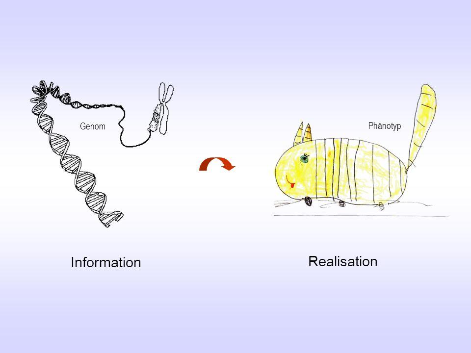 Realisierung der genetischen Information Ablesewerkzeug Hier erhält die Information eine Bedeutung