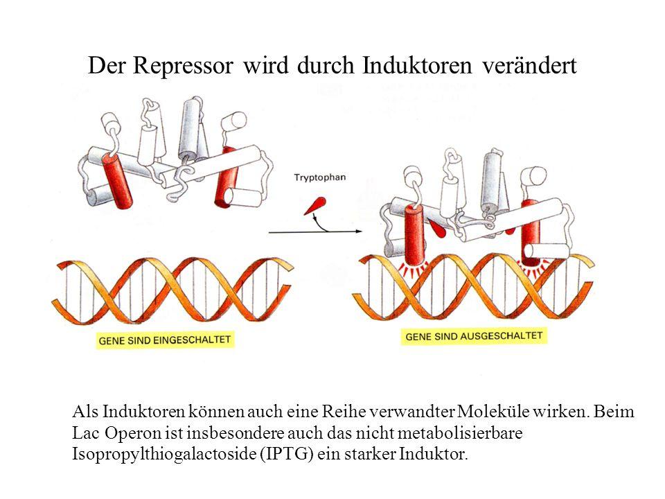 Der Repressor wird durch Induktoren verändert Als Induktoren können auch eine Reihe verwandter Moleküle wirken.