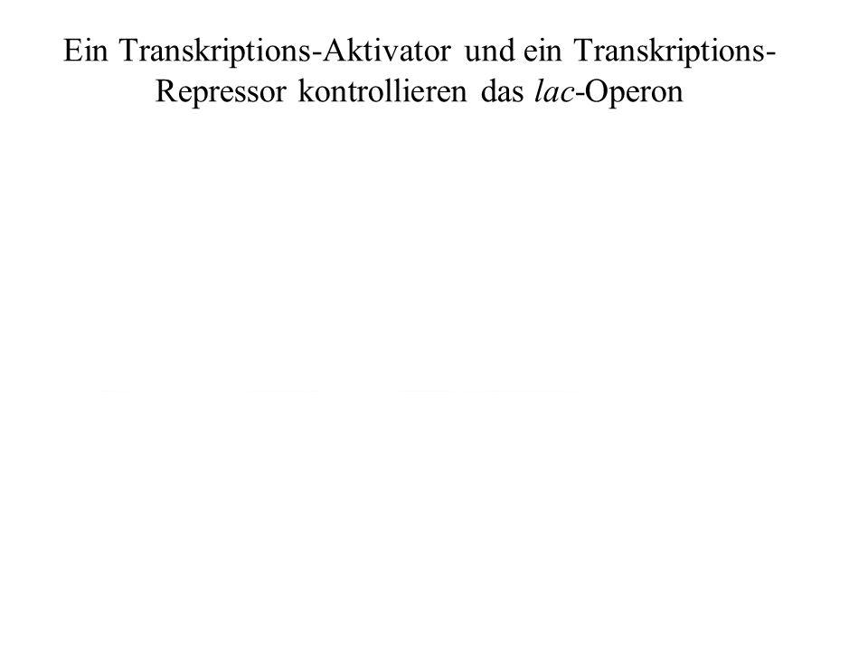 Ein Transkriptions-Aktivator und ein Transkriptions- Repressor kontrollieren das lac-Operon