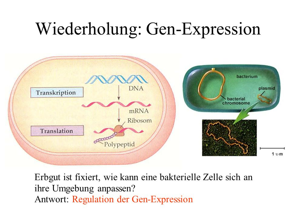 Repressors & Inducers Inducers that inactivate repressors: ● IPTG (Isopropylthio-ß-galactoside)  Lac repressor ● aTc (Anhydrotetracycline)  Tet repressor Use as a logical Implies gate: (NOT R) OR I operatorpromoter gene RNA P active repressor operator promoter gene RNA P inactive repressor inducer no transcription transcription Repressor Inducer Output