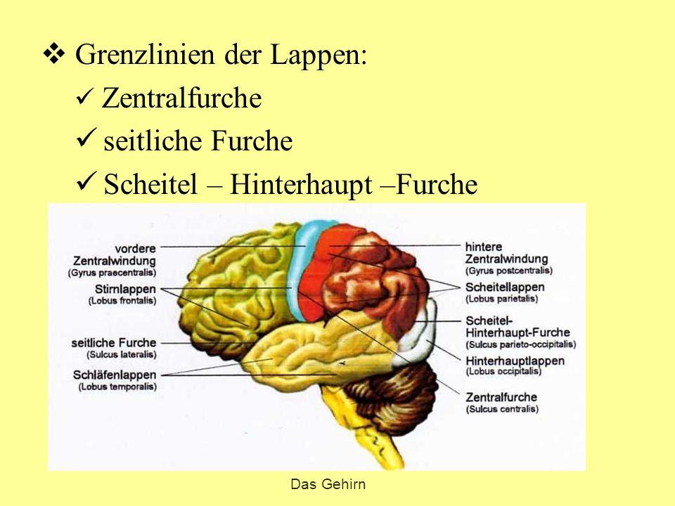  Grenzlinien der Lappen: Zentralfurche seitliche Furche Scheitel – Hinterhaupt –Furche Das Gehirn Fuchsbandwurm