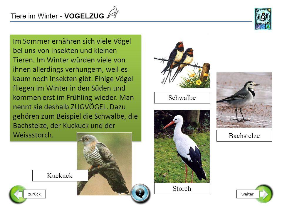 Tiere im Winter - VOGELZUG zurückweiter Schwalbe Im Sommer ernähren sich viele Vögel bei uns von Insekten und kleinen Tieren. Im Winter würden viele v