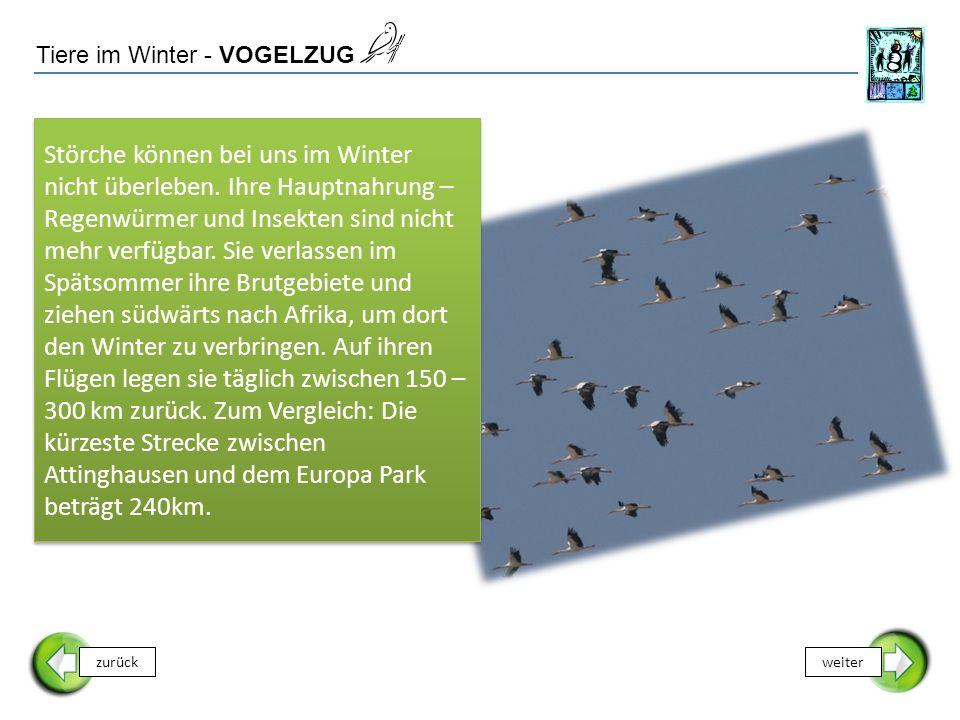 Tiere im Winter - VOGELZUG Störche können bei uns im Winter nicht überleben. Ihre Hauptnahrung – Regenwürmer und Insekten sind nicht mehr verfügbar. S